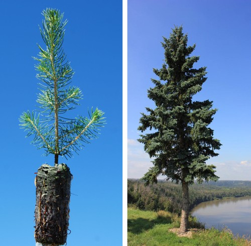 evergreen sapling and tree